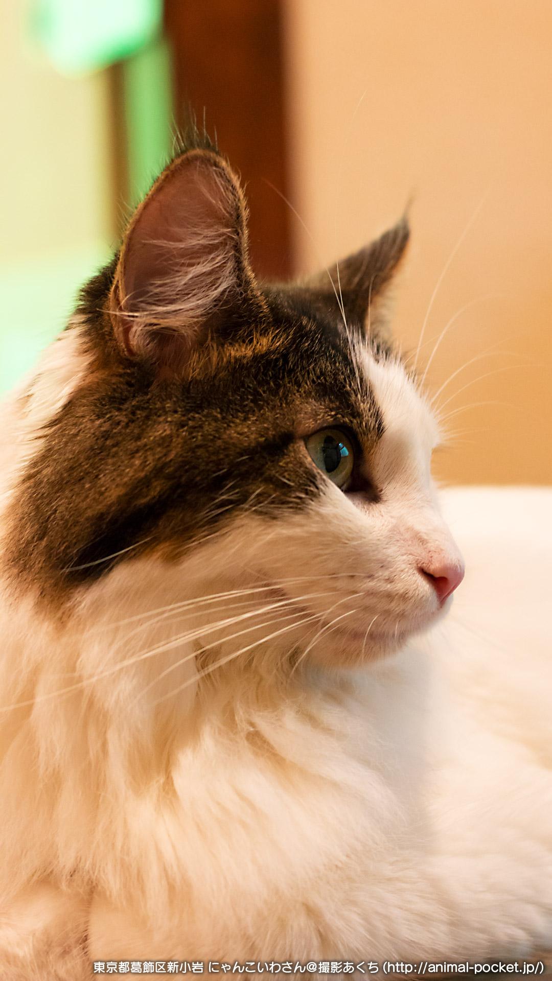 猫カフェレポート「にゃんこいわ」とおるくんアップ