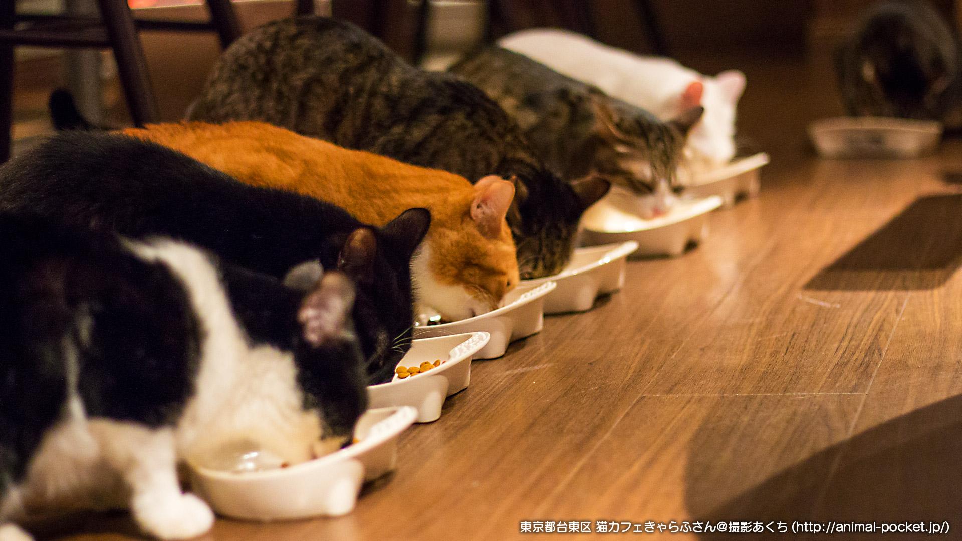 猫カフェ日記「猫カフェきゃらふ」