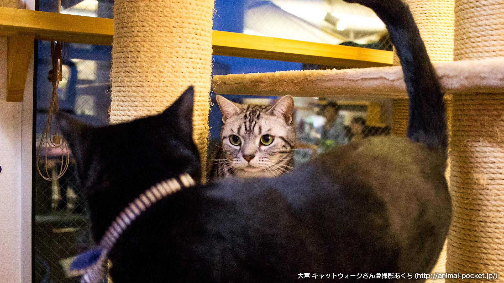 猫カフェ「catwalk」アユムくんとソラくん - 2