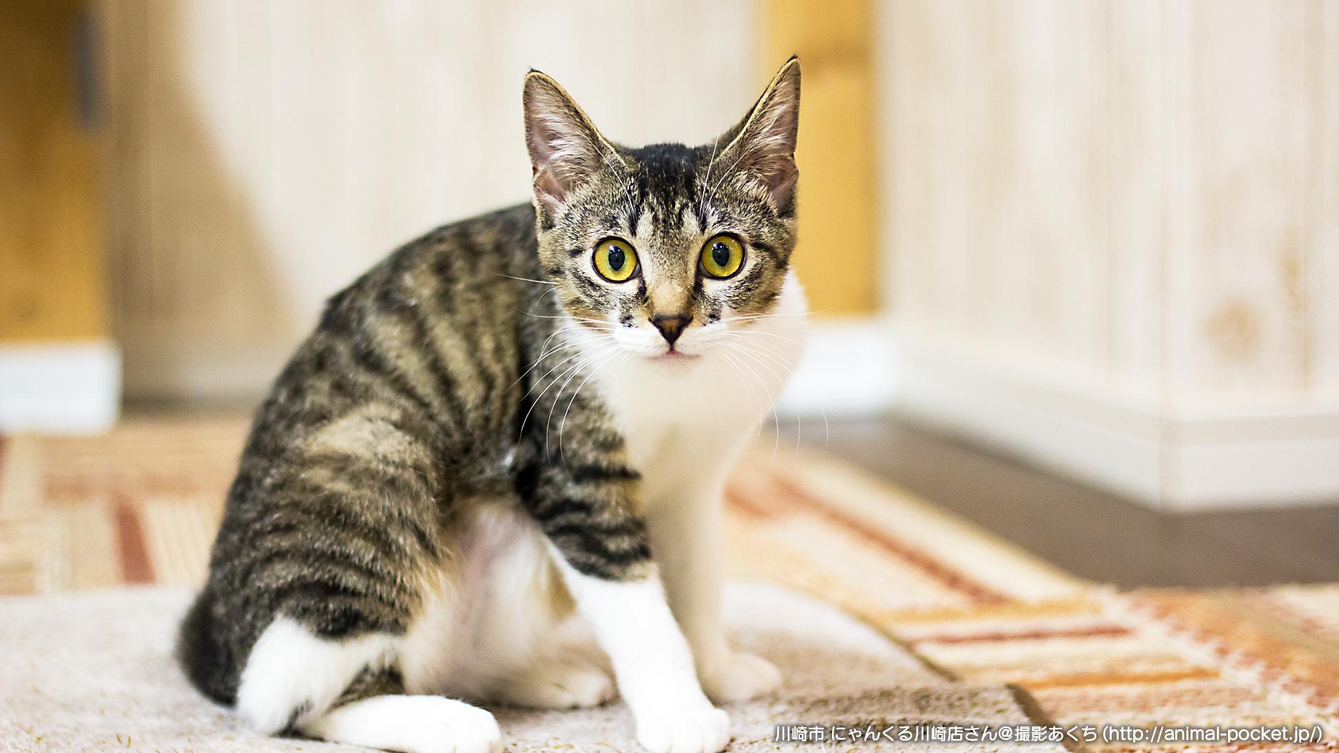 猫カフェ「にゃんくる川崎店」